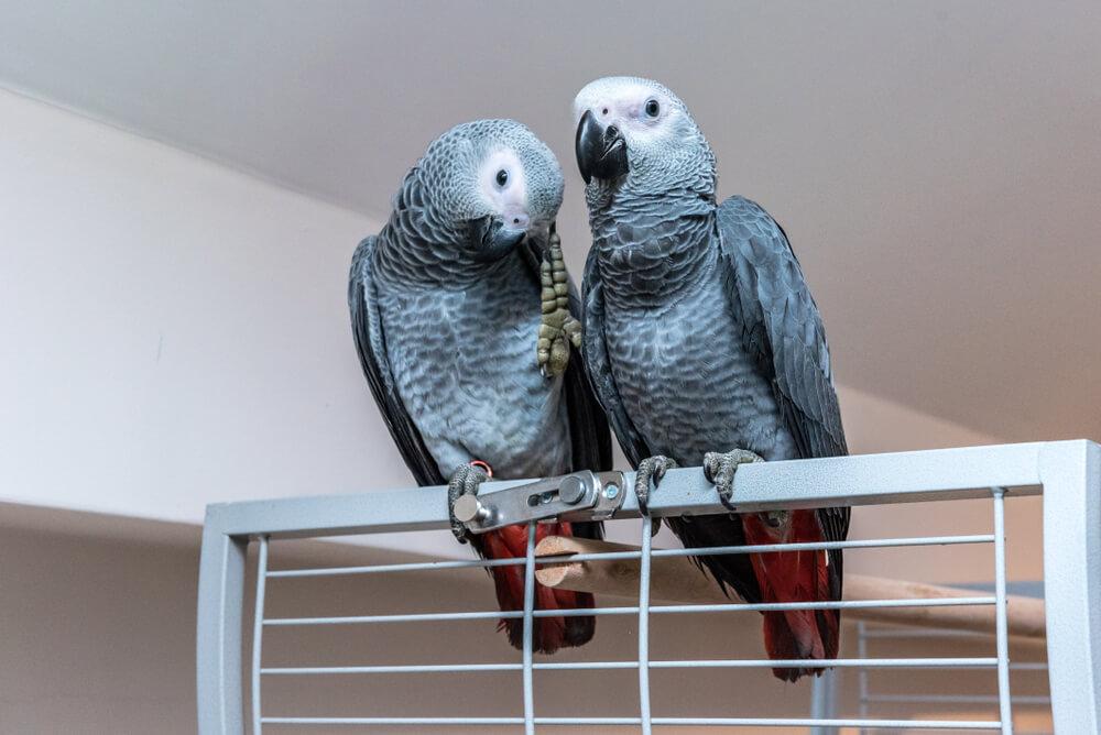 Zwei Papageien mit Papageienkäfig auf Rollen